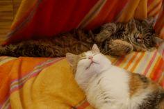 lazy cats - Hablkatzenkinder
