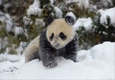 giant panda cub | Giant Panda Cub Playing in the Snow Christmas Cards