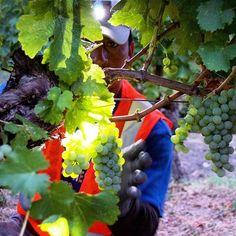 My favorite image from this morning's Sauvignon Blanc pick. #napaharvest