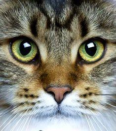 - Estás en el lugar correcto para sopas receita Aquí presentamos receita macarrao que está buscand - Cool Cats, Cute Cats And Kittens, Pretty Cats, Beautiful Cats, Animals Beautiful, Animals And Pets, Cute Animals, Domestic Cat, Cat Face