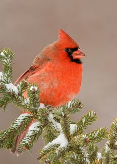 West Virginia's State Bird: the Cardinal (my FAVORITE bird!!!)No wonder my mom like the Cardinal