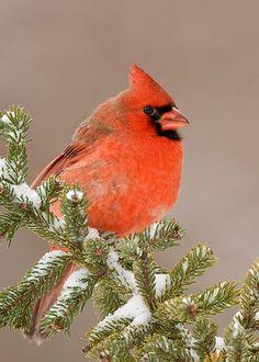 Cardinal ~ West Virginia's  State Bird