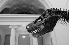 "Field Museum #1 / Chicago. ""Sue""- FMNH PR 2081, one of the largest, most extensive and best-preserved Tyrannosaurus rex specimens."