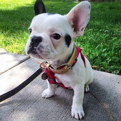 French Bulldog Puppy❤️, BullyInstagram Puppy