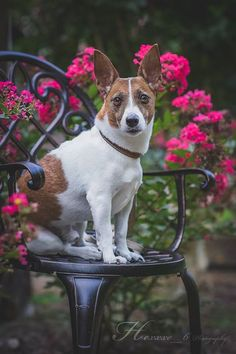 Jack Russell Terrier Carson #jackrussell #terrier #dog #photography