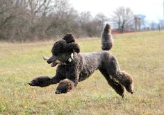 Axle is so much more poodle than golden! Lol! This is exactly how he jump-plays!