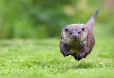 baby-otter-run