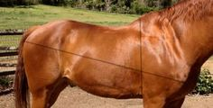 How to estimate your horse's weight! http://www.proequinegrooms.com/index.php/tips/barn-management/how-to-estimate-your-horse-s-weight/