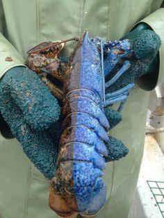 Chimera lobster