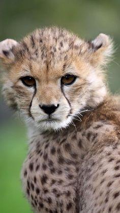 Big Cats, Cute Cats, Big Cat Family, Ocelot, Cheetahs, Leopards, Animals Beautiful, Jaguar, Cubs