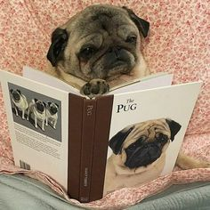 Her favorite book! #pug