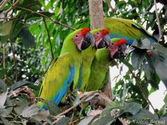 Great Green Macaws (Ara ambiguus) released by the Ara Project / Proyecto Ara eating monkey fruit.