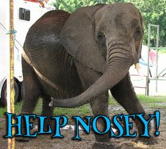 Nosey the Elephant Needs Your Help in Florida!