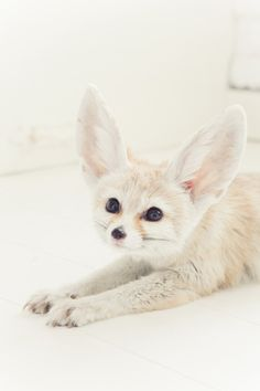 Fennec Fox - Photographer unknown