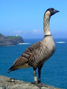 The nene goose is Hawaii's state bird, a descendant of Canada geese that flew to the islands hundreds of thousands of years ago. Some 25,000 lived there when Europeans arrived in 1778, but a mix of hunting, habitat loss, road collisions & invasive species reduced the species to just 30 birds by the 1950s. The nene was declared an endangered species in 1967, a captive-breeding program was launched in the 70s. The species has since grown to about 2,000