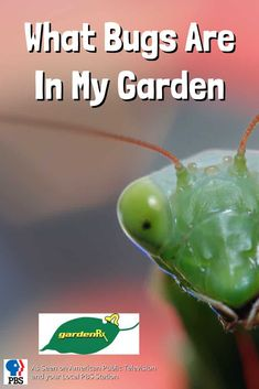What bugs are in my garden? Good bugs or bad? Only one way to find out, a simple insect trap. We'll show you how to tell what kind of bugs live in your garden.  #gardenrx #cuprockdiy #gardening