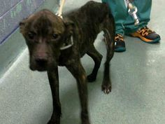 Brooklyn Center BRUCE - A1031204 MALE, BR BRINDLE, PIT BULL MIX, 1 yr STRAY - STRAY WAIT, NO HOLD Reason STRAY Intake condition INJ MINOR Intake Date 03/24/2015, From NY 11205, DueOut Date 03/27/2015, https://www.facebook.com/Urgentdeathrowdogs/photos/pb.152876678058553.-2207520000.1427357220./983149335031279/?type=3&theater