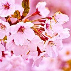 【yuki19860101】さんのInstagramをピンしています。 《あと16日で桜子と会うわけで。  私は桜の花が好きで見た目もだけど、花言葉が『精神美』『優美な女性』『純潔』っていうのが大好きです。  日本を象徴するような花で、みんなが桜の開花を待ちわびて花が咲くと心を明るくしてくれる。  でも散ってしまう花だから、漢字1文字で『産まれてから死ぬまで一生』という意味を持つ『子』をつけて、一生咲き続ける桜の様になってほしいという願いを込めて『桜子』という名前にしました。 ……という由来は全部後付けで、今回もなんとなくなインスピレーションで決めました。  3人とも字画なんか1回も見たことねーよ。  シンプルイズベスト(*^^*) 私が1人で勝手に思いついて勝手に決定しました。  #中尾桜子#桜#名前の由来#思いつき》
