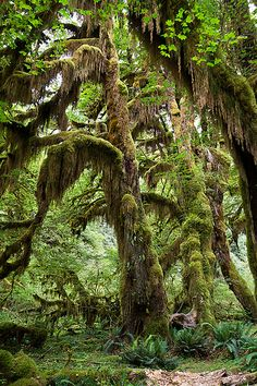 Hoh Rainforest, Olympic National Park, Washington. Maybe a trip here next year?! Olympic looks amazing!!