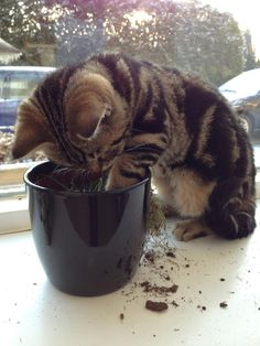 British shorthair, kitten, cat, Golden tabby blotched - this looks interesting!
