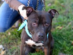 GONE --- Brooklyn Center   SKIP - A1020263  MALE, BLACK / WHITE, STAFFORDSHIRE MIX, 6 yrs STRAY - STRAY WAIT, HOLD RELEASED Reason OWNER SICK  Intake condition EXAM REQ Intake Date 11/10/2014, From NY 11203, DueOut Date 11/10/2014,  Main Thread: https://www.facebook.com/photo.php?fbid=903982639614616%2F
