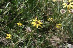 Yellow desert wild flowers, Palm Springs California