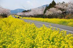 Noksanro Road in Jeju Island, Korea (March 30, 2014)