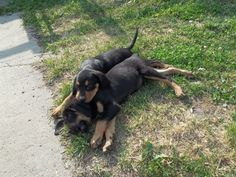 Black and tan coonhounds....great pets; very loving, very loyal with sharp, keen senses. I have one and he has been my best friend for 14 years!