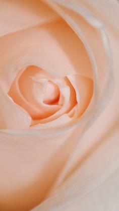 Wallpapers, Rose, Illustration, Pink, Wallpaper, Illustrations, Roses, Backgrounds