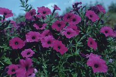 Laura Bush Petunia  A hybrid between VIP and old fashioned petunia which was born & bred in Texas. This reseeding, old fashioned petunia has fragrant violet flowers on a vigorous, heat-tolerant plant. Does well even in alkaline soils.