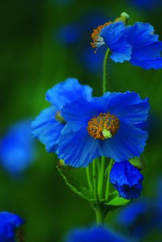 Blue Poppy, For some odd reason I like these flowers? Exotic Flowers, Amazing Flowers, Wild Flowers, Beautiful Flowers, Beautiful Gorgeous, Green Flowers, Blue Poppy, Blue Garden, Flower Pictures