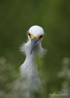 Snowy Egret by amaw, via Flickr