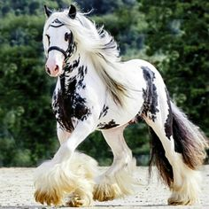 Gypsy Vanner stallion Splash. What markings! photo: Corinne Eisele.