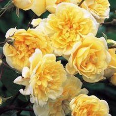 Růže Malvern Hills