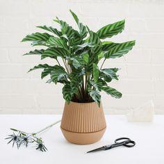 Der Pleated Pflanzenbehälter von Umbra ist mit einem Selbstbewässerungssystem ausgestattet und verleiht durch den terrakotta-farbenen Blumentopf aus Steingut ein gemütliches Ambiente.