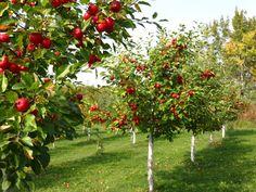 Macieiras carregadas de frutas.  Fotografia: http://science-all.com