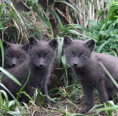 Arctic foxes change out of their familiar white winter coat and sport a dark brown, gray or bluish-black coat during the summer months. This helps them blend in with the rocky tundra after the snow melts. Arctic fox babies, like these, are called pups or kits.