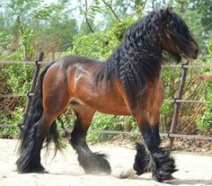 Gypsy Vanner....with bay coats these horses are spectacular!