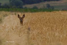 https://flic.kr/p/o3rjS1 | 6921 Reh / Deer | Sucht ihr Bambi looking for her Bambi