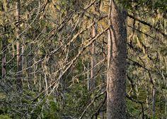 #Photography by artist Ritva Kovalainen: Naavakuusikkoa Virmajoella (Spruce forest with hanging treemoss at Virmajoki), 2010.