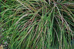 Thuja plicata 'Whipcord' Leaf Flowers, White Flowers, Variegated Plants, Foliage Plants, Planting Flowers, Herbs, Leaves, Herb, Green Plants