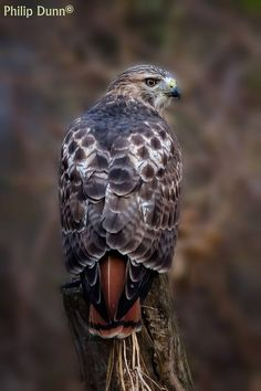 """The Red-tailed Hawk is a bird of prey, one of three species colloquially known in the United States as the """"chickenhawk,"""" though it rarely preys on standard sized chickens - Photographer: Philip Dunn Kinds Of Birds, All Birds, Birds Of Prey, Love Birds, Angry Birds, Pretty Birds, Beautiful Birds, Animals Beautiful, Aigle Animal"""