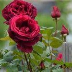 De-aș transforma iubirea Rose, Flowers, Plants, Pink, Plant, Roses, Royal Icing Flowers, Flower, Florals