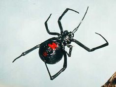 Black widow spider. Latrodectus