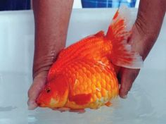 World First Goldfish Pageant
