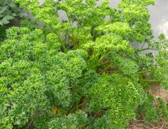 Curled-leaf parsley. Home Garden Plants, Home And Garden, Planting Seeds, Bio, Parsley, Herbs, Leaves, Recipe, Seeds