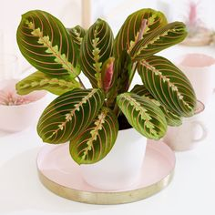 Buy Indoor Plants by Crocus Buy Indoor Plants, Indoor Garden, Balcony Garden, Types Of Prayer, Plants For Hanging Baskets, Cat Plants, Prayer Plant, Tropical Plants, Plant Decor