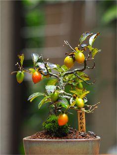 老爺柿です。 盆栽展に行ってあまりの可愛さについつい買ってしまいました。 木の足元をきれいにしてやってとても良くなりました。  Diospyros rhombifolia BONSAI