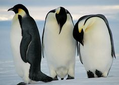 images of penguins | 95% of Emperor Penguins Could Be Dead by 2100 Because of Climate ...