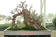 Raft bonsai-Ikadabuki
